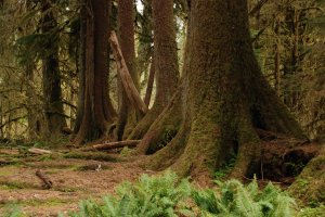 """Giant sitka spruce grow from a """"nursery tree"""" in the Hoh Rain Forest, in western Washington state."""
