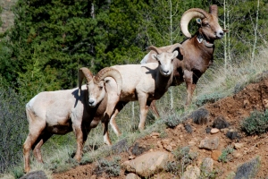 "I happened on these Big Horn sheep while hiking in Colorado a couple of years ago.  I didn't know that they qualify as ""ruminants.""  They're my cousins in more ways than I knew!"